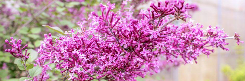High quality ornamental shrubs